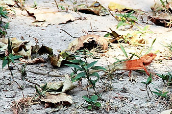 Калот-кровосос. ( Calotes versicolor) Oriental garden lizard, Самец.