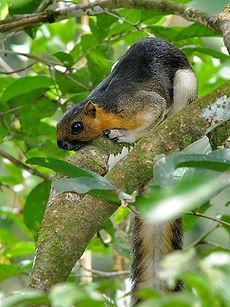 Кремовая, или Малайская,белка (Ratufa af