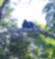 Очковые лангуры (Trachypithecus obscurus)