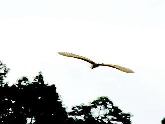 Малая белая цапля Egretta garzetta Little Egret