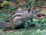 Белка Бердмора (Menetes berdmorei) Indochinese Ground Squirrel