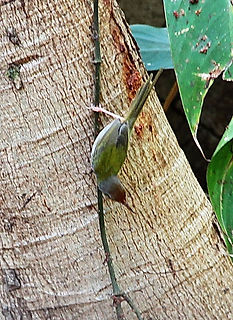 Славка-портниха. Orthotomus sutorius. Common Tailorbird
