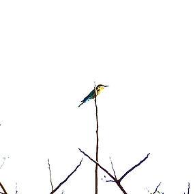 Синехвостая щурка (Merops philippinus) B