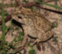 Чернорубцовая жаба (Duttaphrynus melanostictus) Common Indian Toad