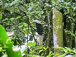 Азиатский белохохлый калао ( Aceros comatus)| huatiaiasia
