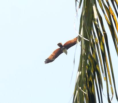 Браминский коршун. (Haliastur indus) Bra