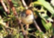 Славка-портниха (Orthotomus sutorius) Common Tailorbird