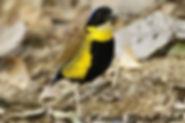 Питта Гюрнея (Pitta gurneyi).