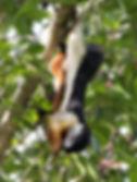 Белка Превоста (Callosciurus prevostii),