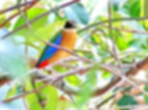 Молуккская питта, самец Blue winged Pitta, male. Pitta moluccensis