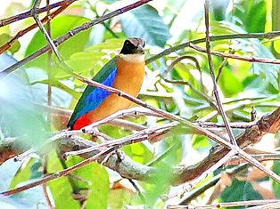Молуккская питта. Blue winged Pitta. Pitta moluccensis