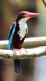 Красноклювая альциона (Halcyon smyrnensis) White-throated Kingfisher