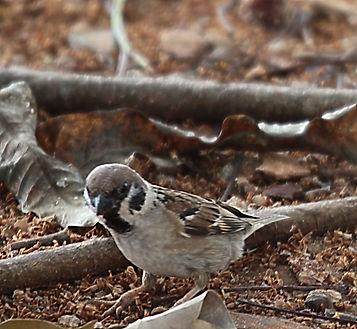 Полевой воробей (Passer montanus) Eurasian Tree Sparrow