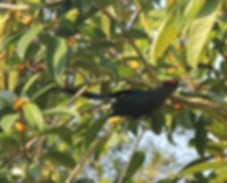 Чернобрюхая кустарниковая кукушка (Phaen