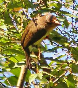 Бурый бородастик  (Caloramphus fuliginos