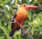 Бурокрылый гуриал (Pelargopsis amauroptera) Brown-winged Kingfisher