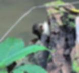 Белка Лоу (Sundasciurus lowii ) Low's Sq