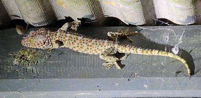 Геккон токи (Gekko gecko) Tokay gecko . huatiaiasia