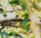 Сибирский жулан. Lanius cristatus. Brown Shrike