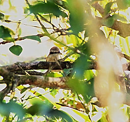 Сибирский жулан. Lanius cristatus. Brown Shrike