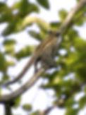 Кампучийсккю белку (Tamiops rodolphii)