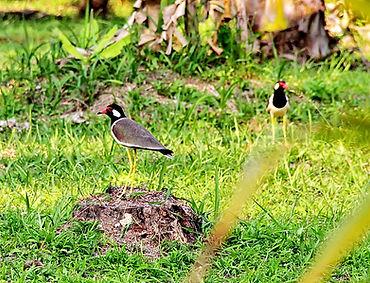 Украшенный чибис  (Vanellus indicus atro