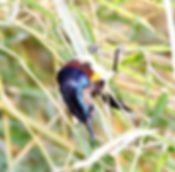 Желтобрюхая нектарница  (Cinnyris jugularis), Nectarinia jugularis