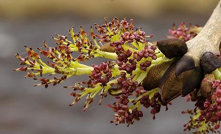 IMG_2643-Ash-tree-Fraxinus-excelsior-Flo