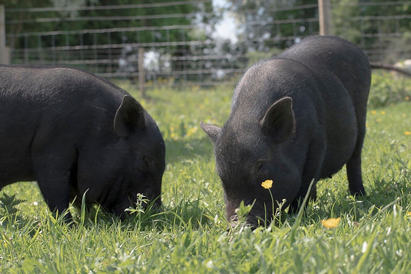 The blind piglets