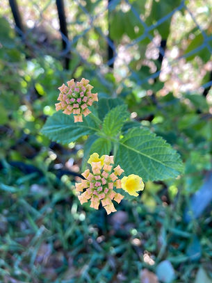 Lantana on west side of our yard Sunday,