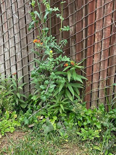 Milkweed on west side of our house on Ja