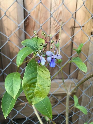 Blue Butterfly Plant December 4, 2020.jp