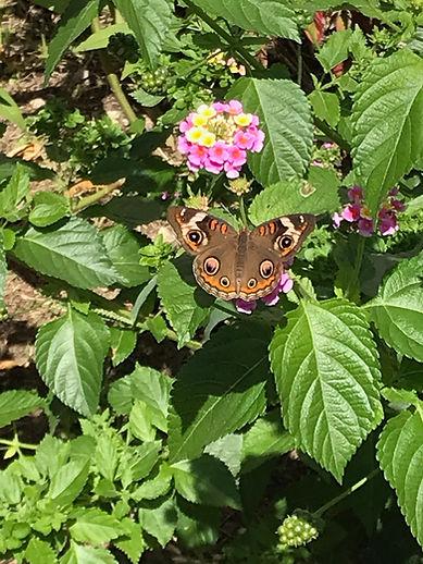 Common Buckeye Butterfly species Junonia