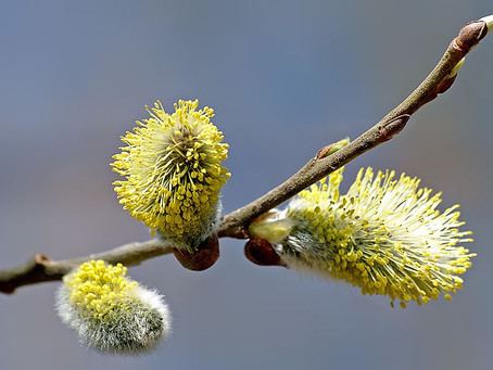 The Essence of the Willow