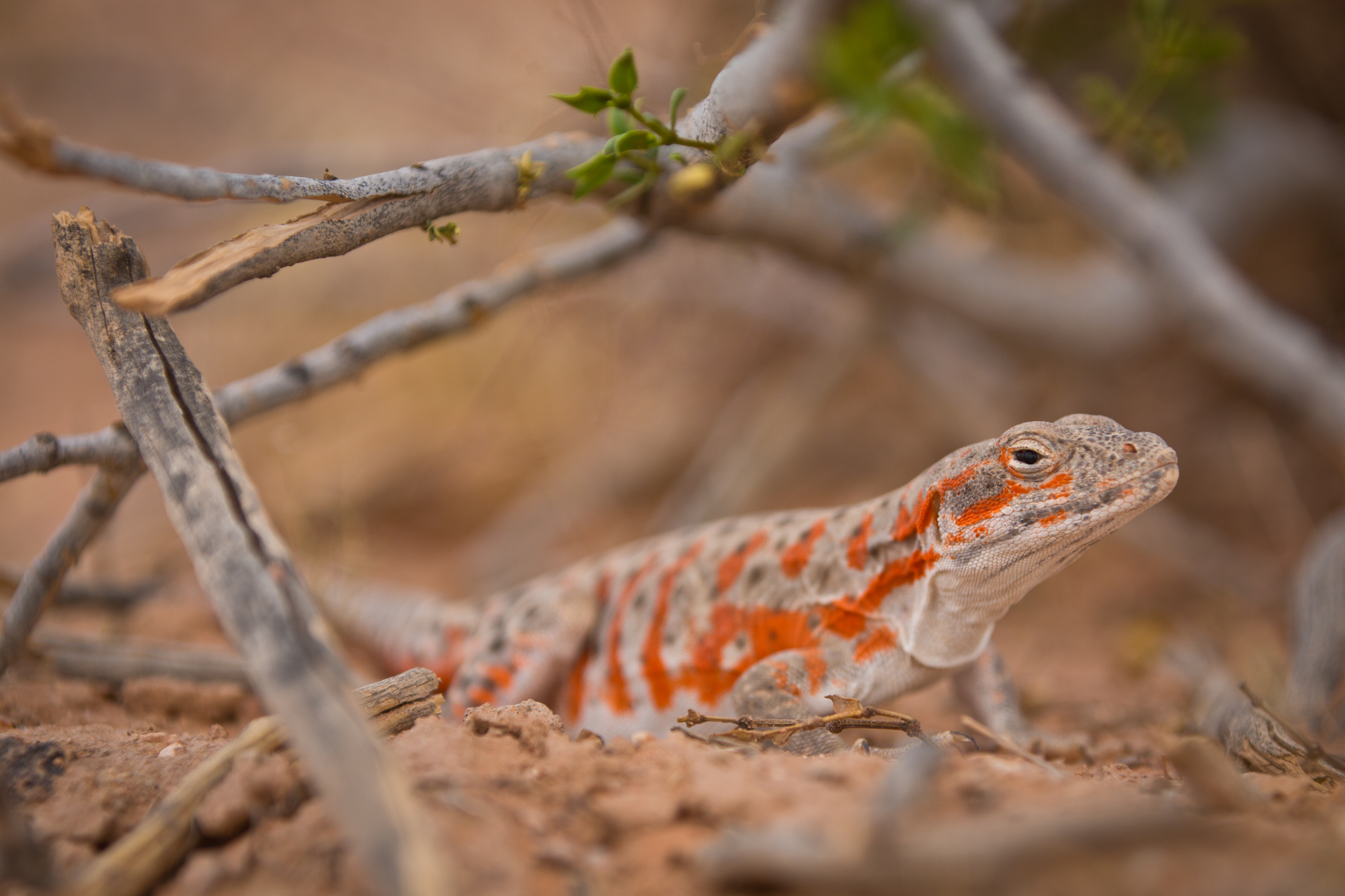 Long Nosed Leopard Lizard