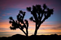 Joshua Tree at Sunset