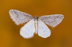 Moth In Water