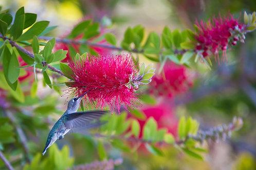 Humming Bird & Pink Bottle Brush
