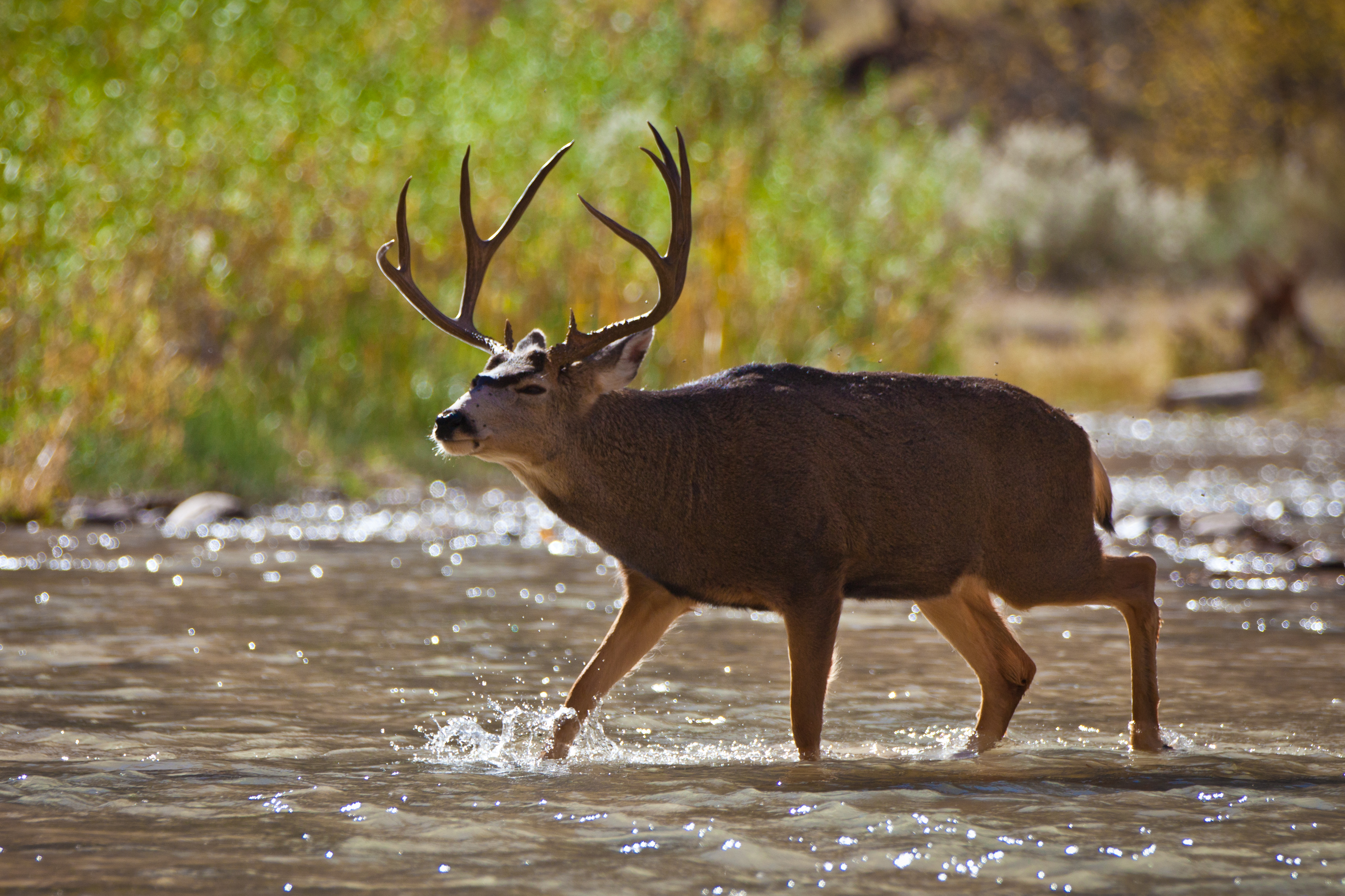 Deer Crossing the Virgin River