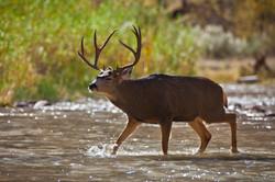 Deer Crossing the Virgin River