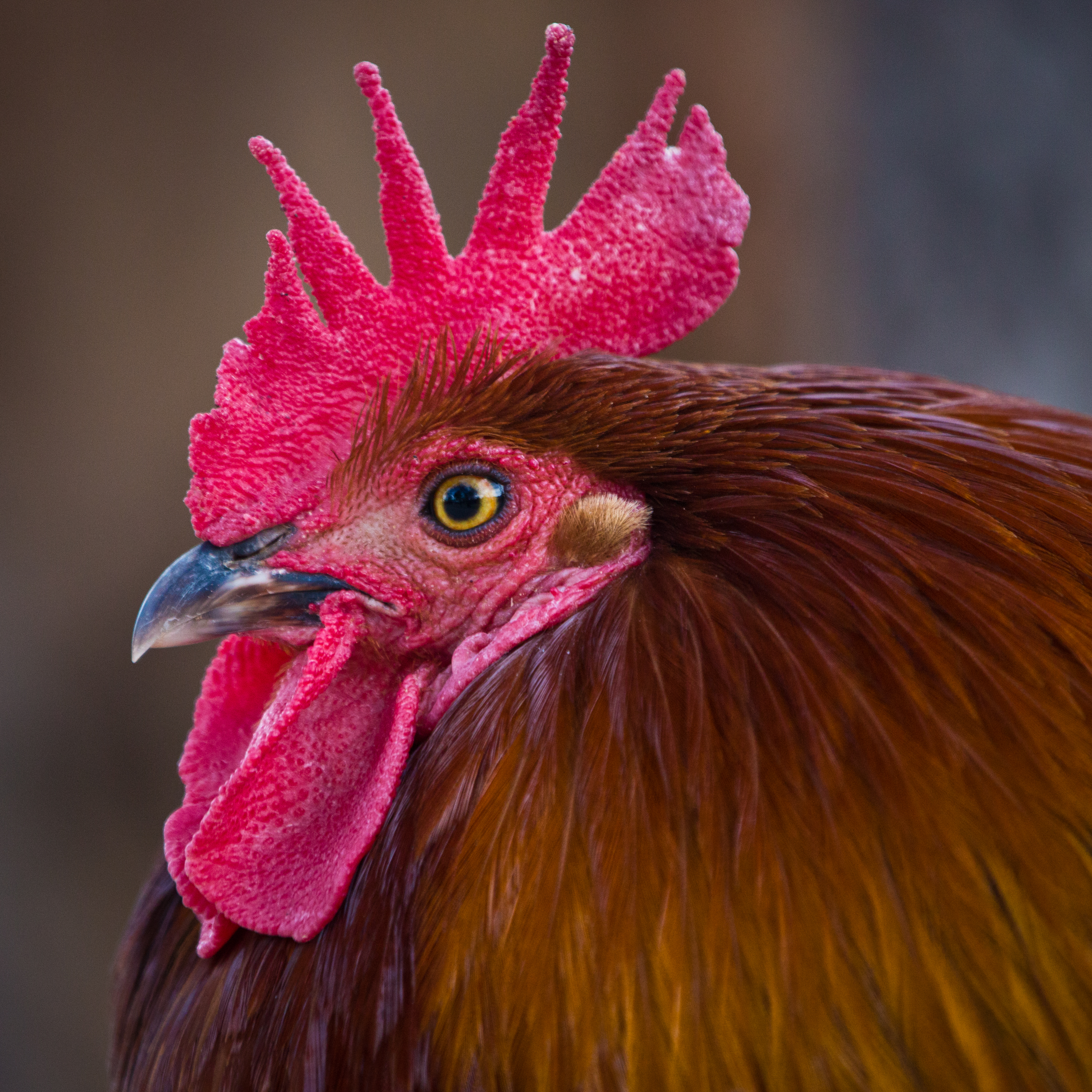 Head of Rooster