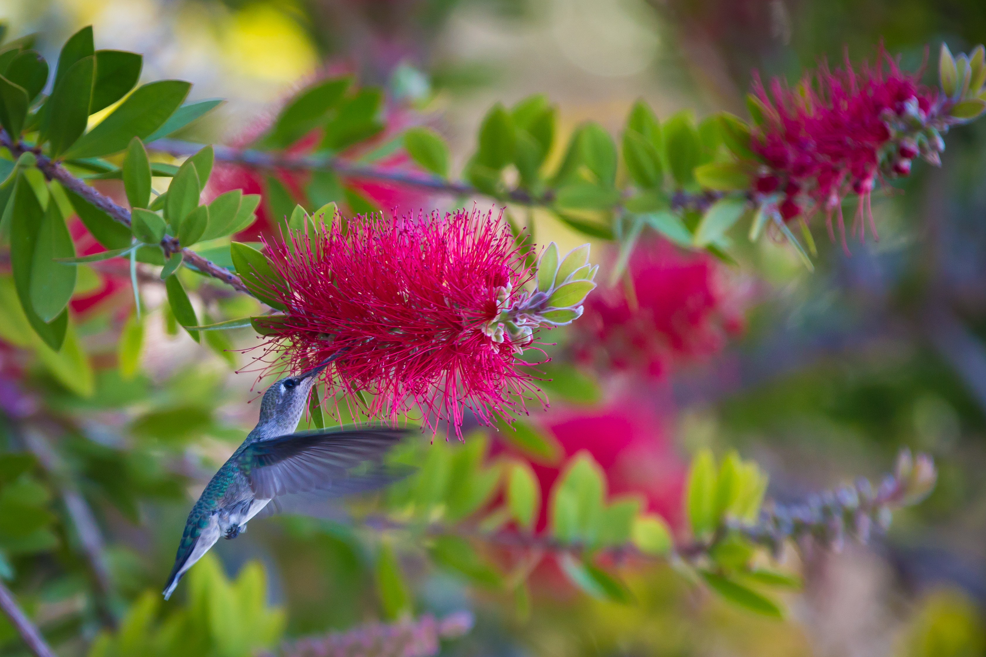 Humming Bird & Pink Bottlebrush