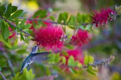 Humming Bird & Pink Bottlebrush