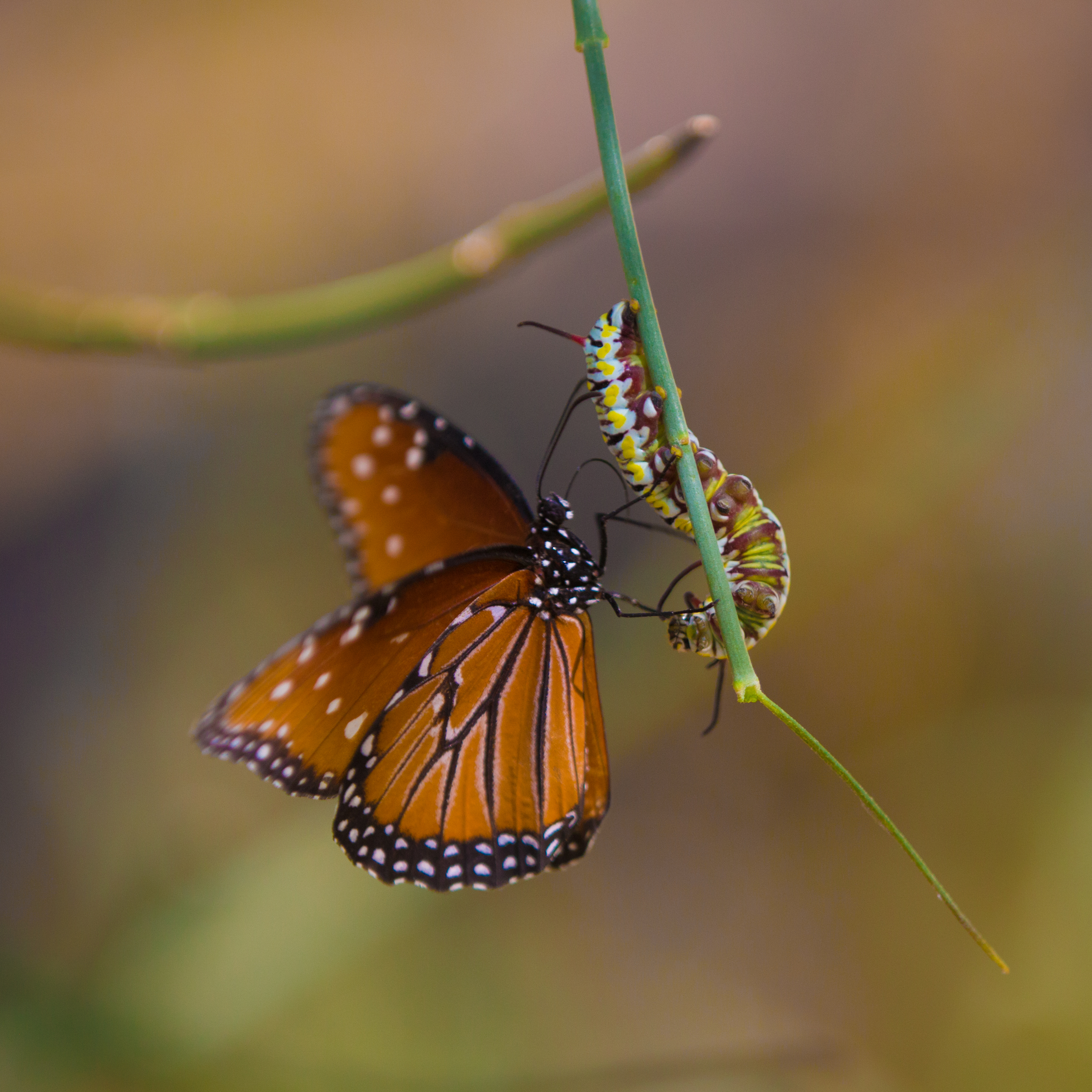 Monarch Butterfly & Caterpillar