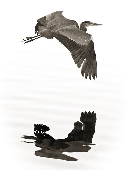 Great Blue Heron Abstracted