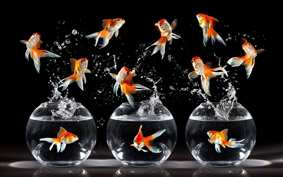 fish-photography-school-goldfish-wallpap