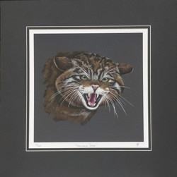 'Highland Tiger' - Wildcat