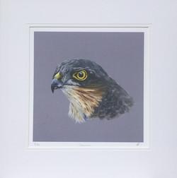 'Stealth' - Sparrowhawk