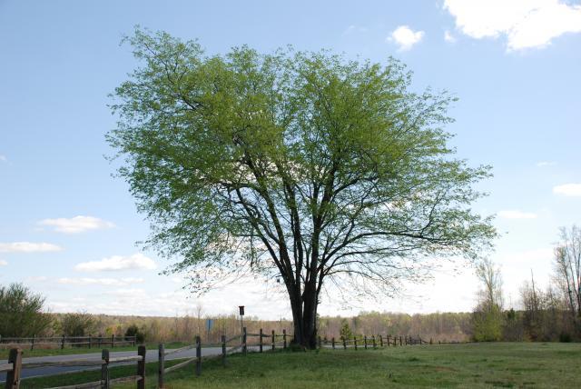 Medoc Spring Tree