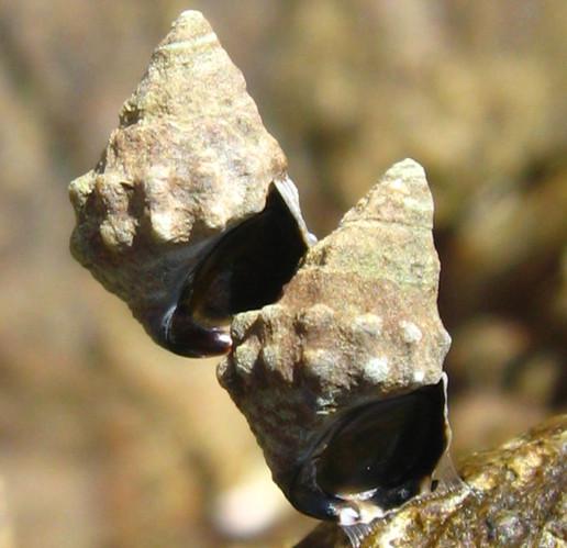 Echinolittorina malaccana